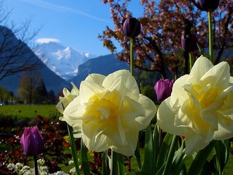 Daffodils Tulips blooming Jungfrau mountain in distance spring Interlaken Switzerland