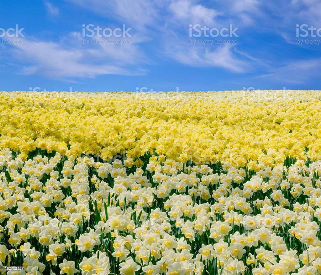 Daffodils under a Blue Sky royalty-free stock photo