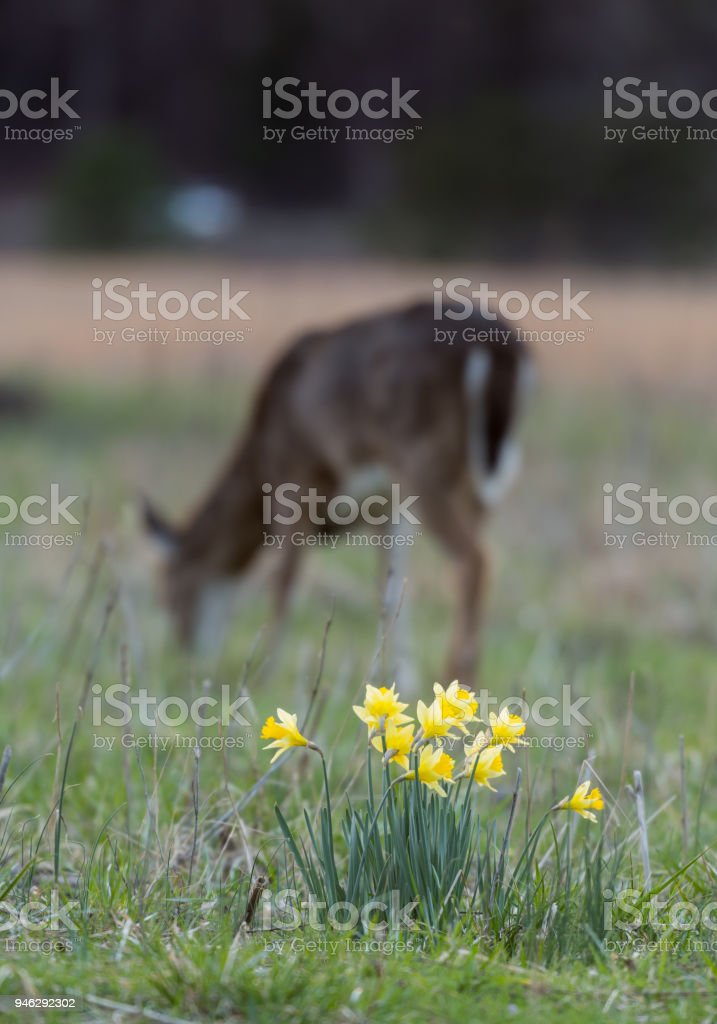 Daffodils Welcome Spring As Deer Grazes in Background stock photo