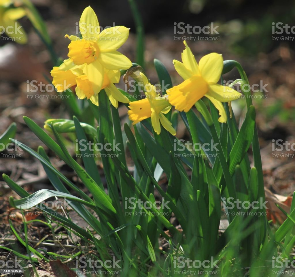 dafodill in bloom, spring is here stock photo