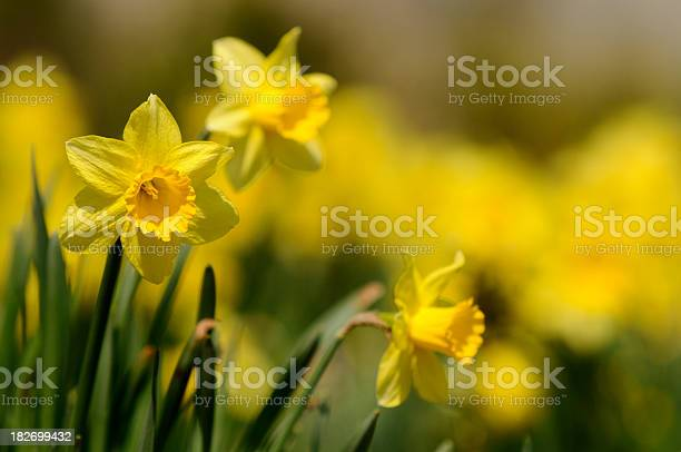 Dafodill Stock Photo - Download Image Now