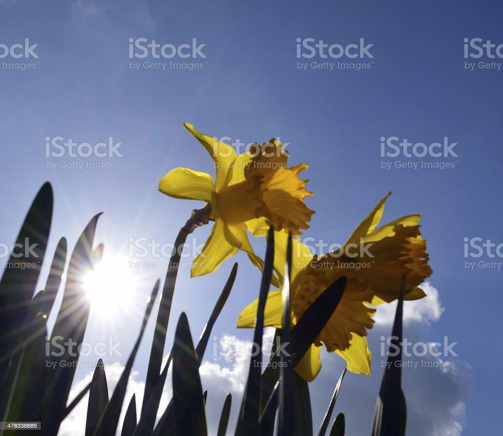 Dafodills in Spring. stock photo