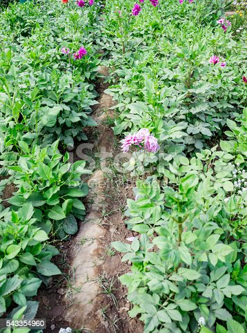 Dahlia plants being grown in the fields.