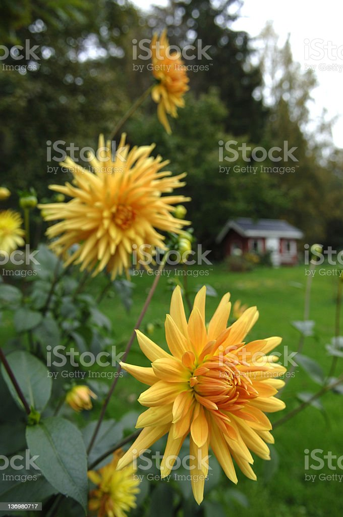 Dahlia and cottage royalty-free stock photo