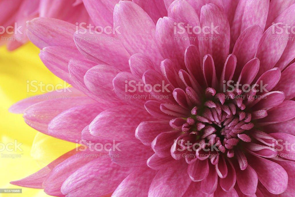 Dahlia Arrangement royalty-free stock photo