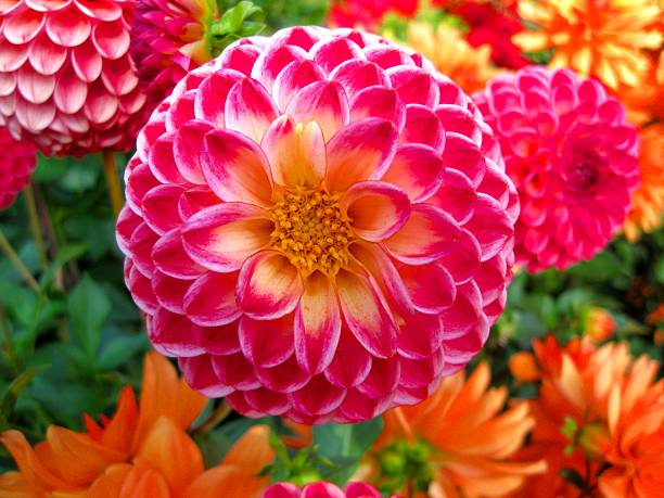 Dahlia background stock photo
