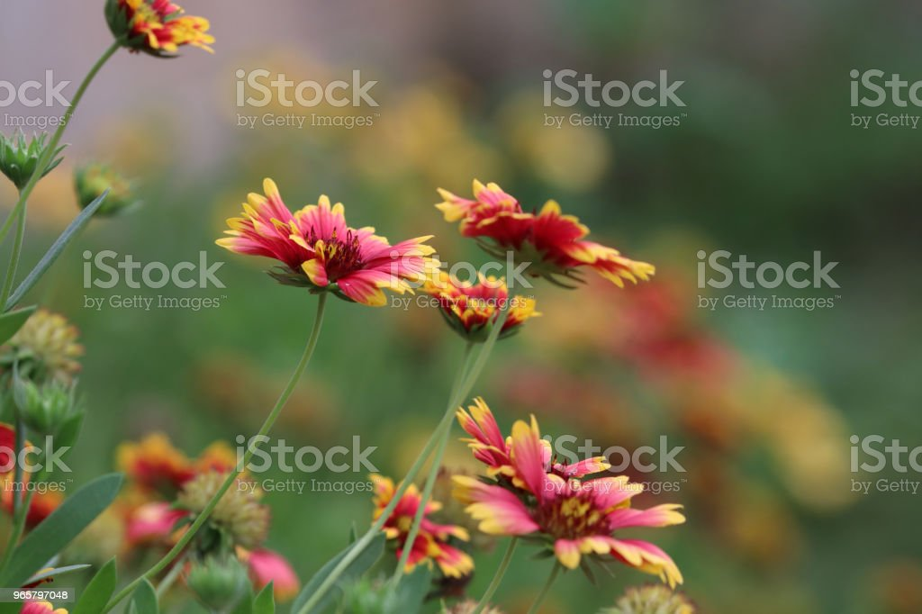 Dahlia beautiful flowers red and yellow color freshness in font yard  nature background blooming on tree - Royalty-free Beleza Foto de stock