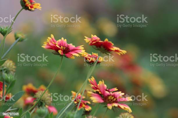 Dahlia Beautiful Flowers Red And Yellow Color Freshness In Font Yard Nature Background Blooming On Tree - Fotografias de stock e mais imagens de Beleza