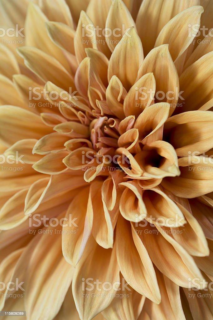 Dahlia blossom royalty-free stock photo