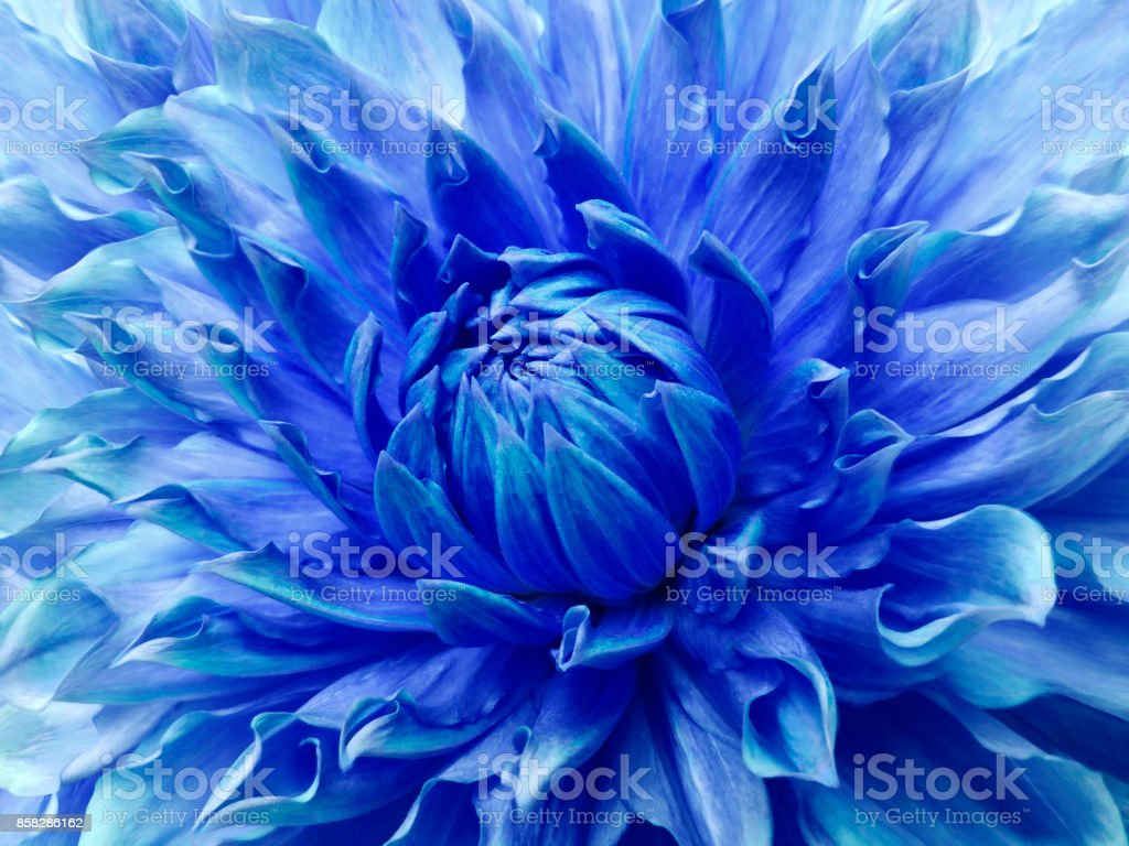 Dahlia blue flower.  Macro. Motley big flower. Background from a flower. Nature.  . stock photo