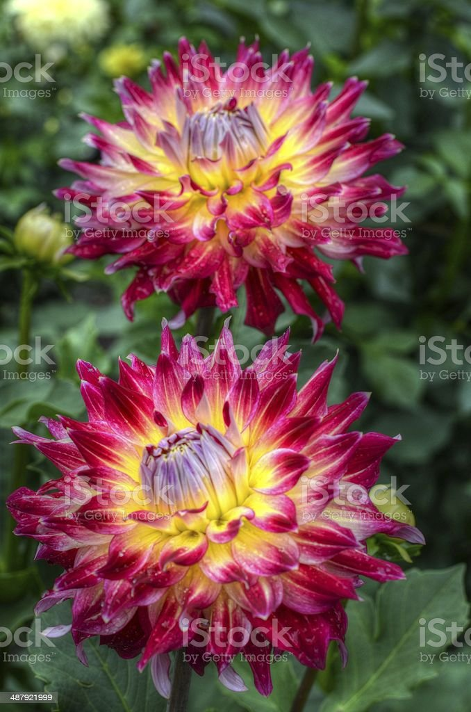 Dahlia by the Two stock photo