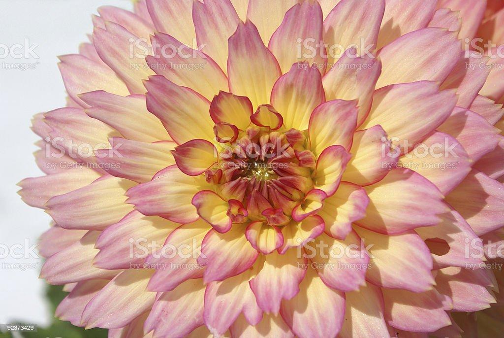 Dahlia close-up. royalty-free stock photo