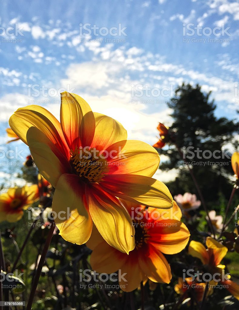 Dahlia Field in Sunshine stock photo