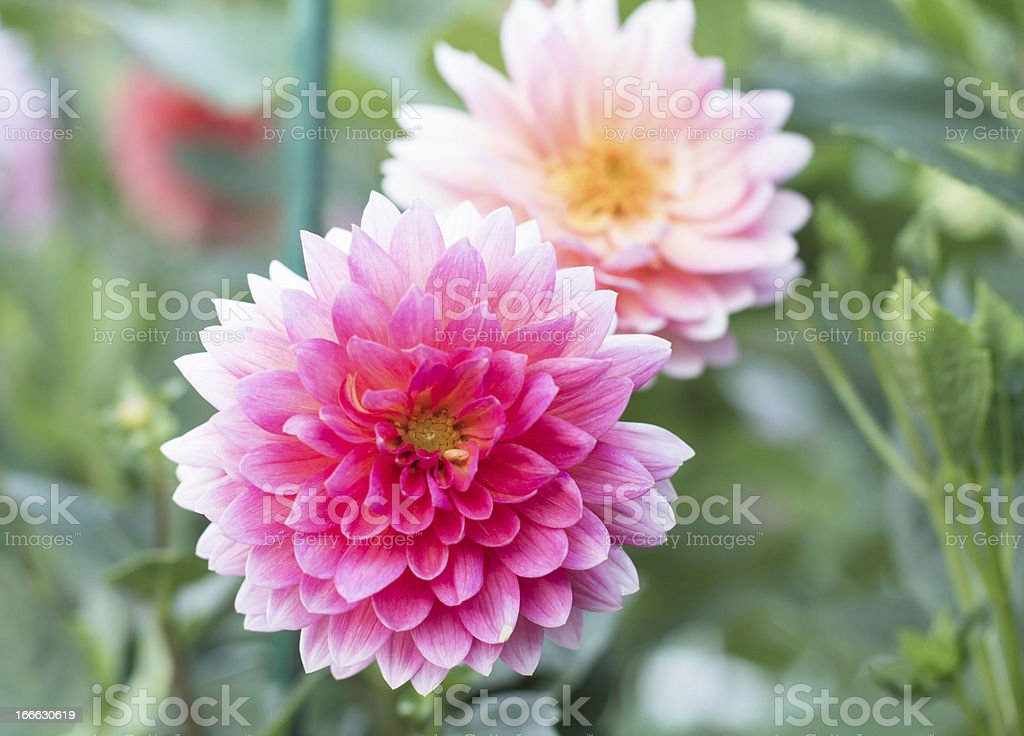 Dahlia flower growing in the garden. royalty-free stock photo