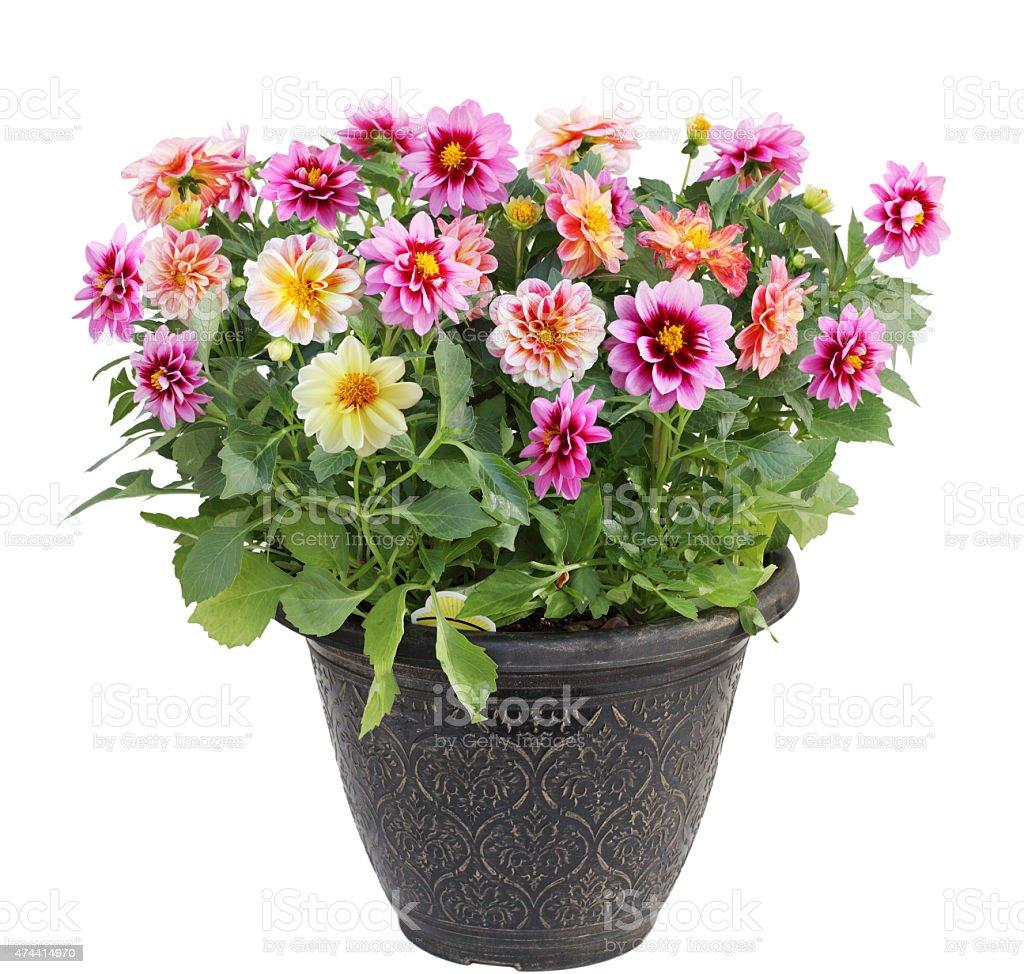 Dahlie Blüte in Pot – Foto