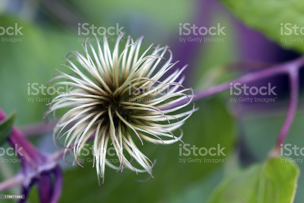 Dahlia Flower in the Garden , close up royalty-free stock photo