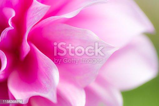Dahlia flower in the garden