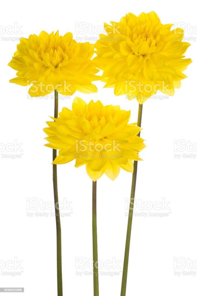 dahlia flower isolated on white stock photo