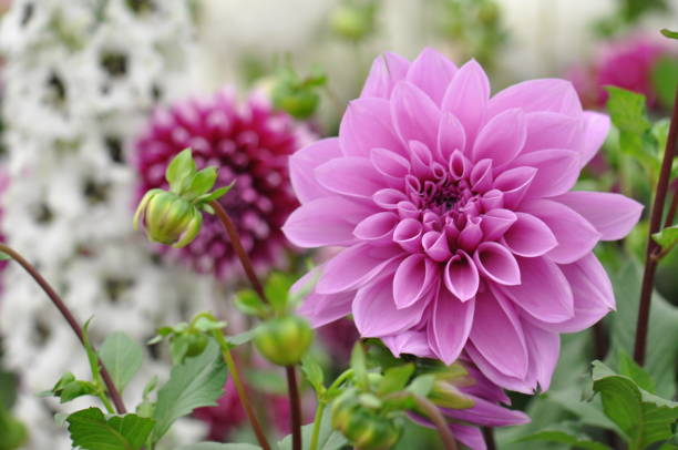 Dahlia flower Pink dahlia flower in Summer, Chelsea Flower Show single flower stock pictures, royalty-free photos & images