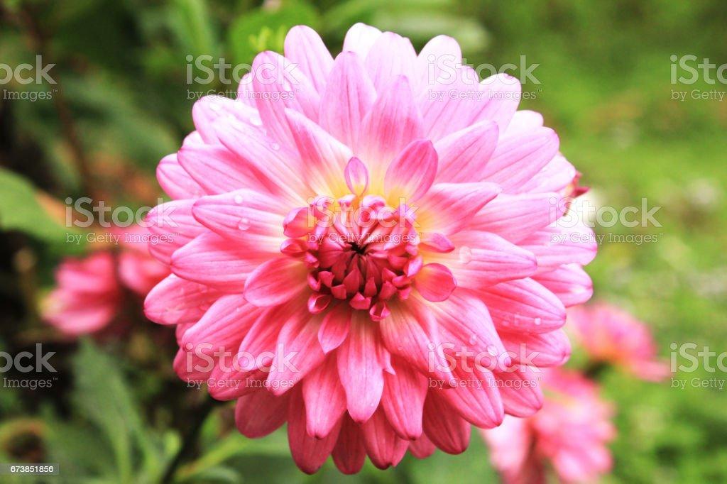 Arrière-plan flou vert fleur rose Dahlia. flou artistique photo libre de droits