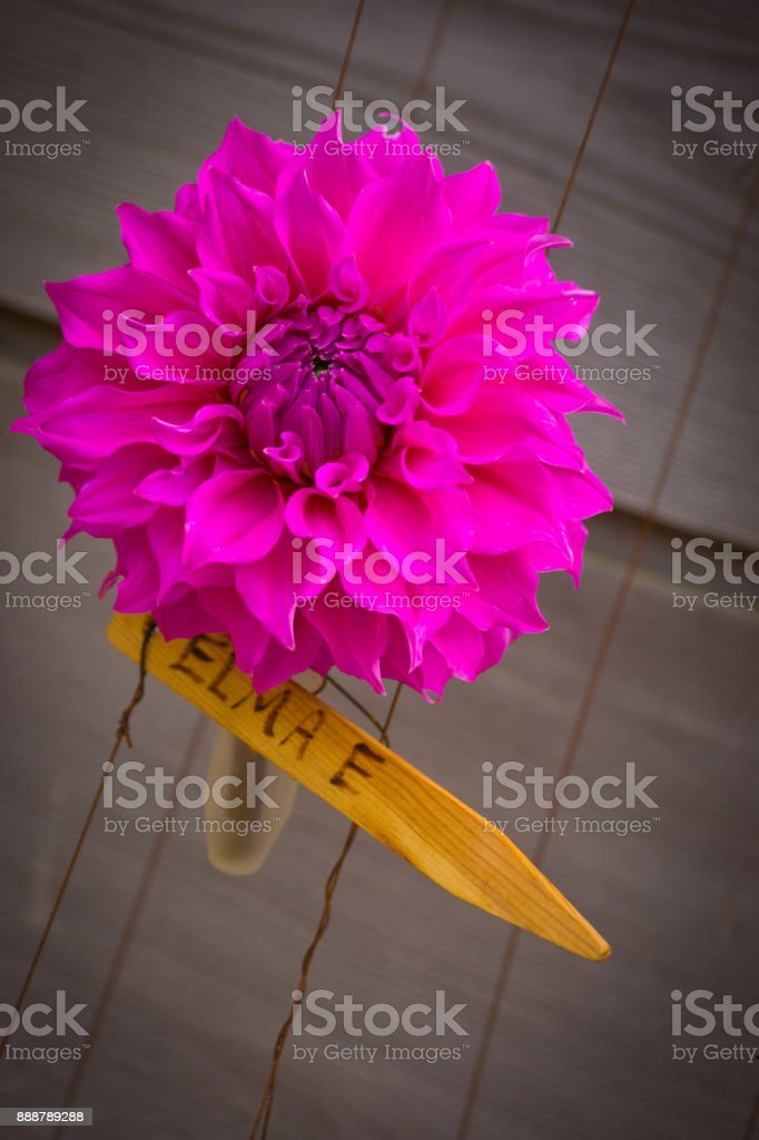 Dahlia flower with label stock photo