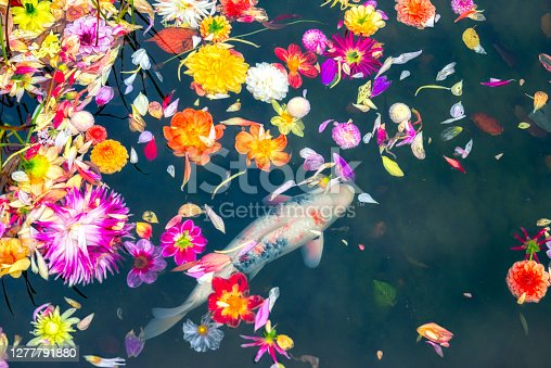 Colorful Dahlia flower heads are floating in garden pond and a Koi carp is swimming underneath