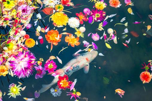 Dahlia flowers floating over Koi carp in pond