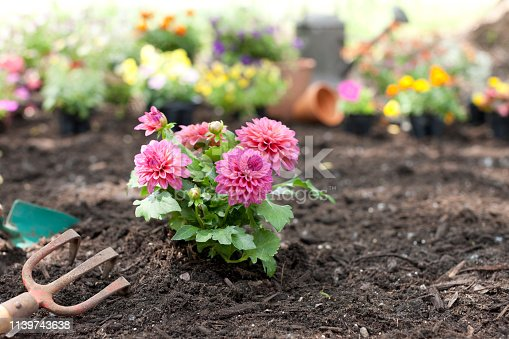 Pink Dahlia Flowers in the Garden