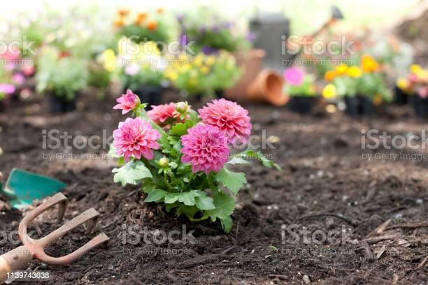 Dahlia flowers in the garden picture id1139743638?b=1&k=6&m=1139743638&s=612x612&h=wdcrrbqjvnorvdwf0smnkdkgcrax5xbzfagij bkimu=