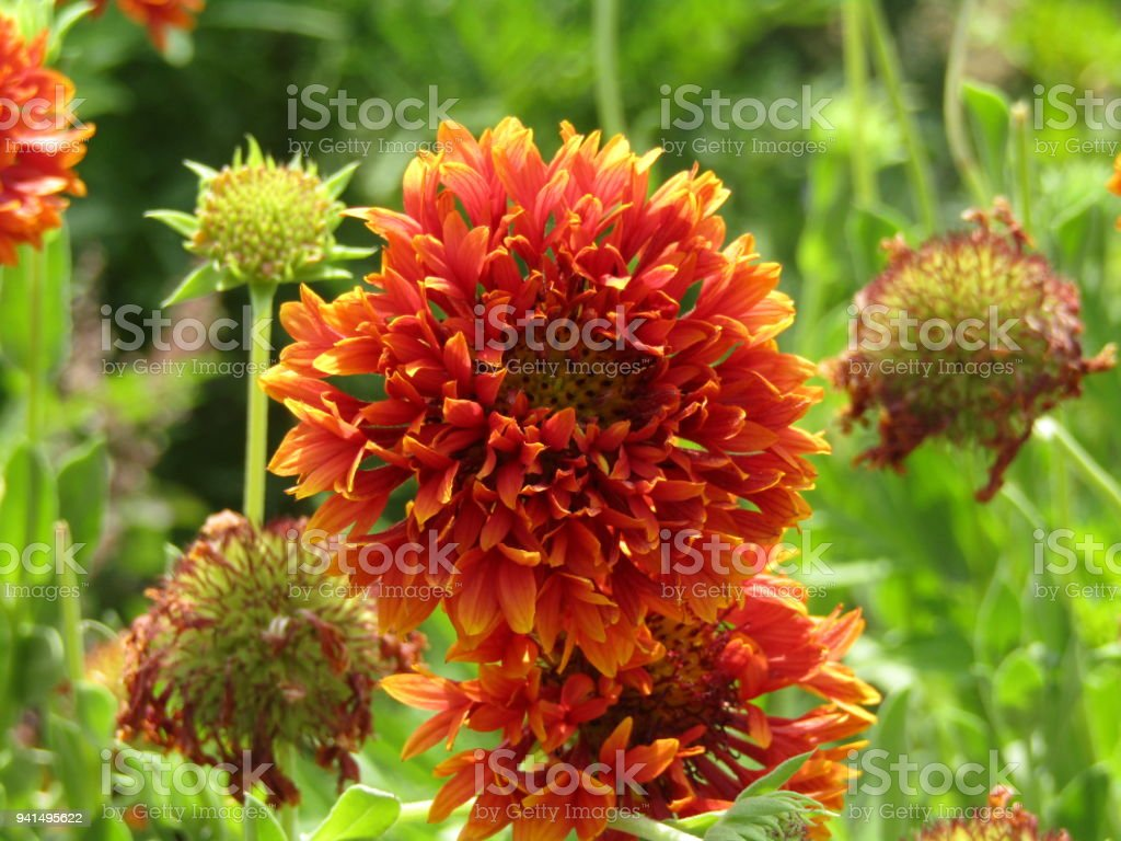 Dahlia flowers of gardens beauty in summer stock photo more dahlia dahlia flowers of gardens beauty in summer royalty free stock izmirmasajfo