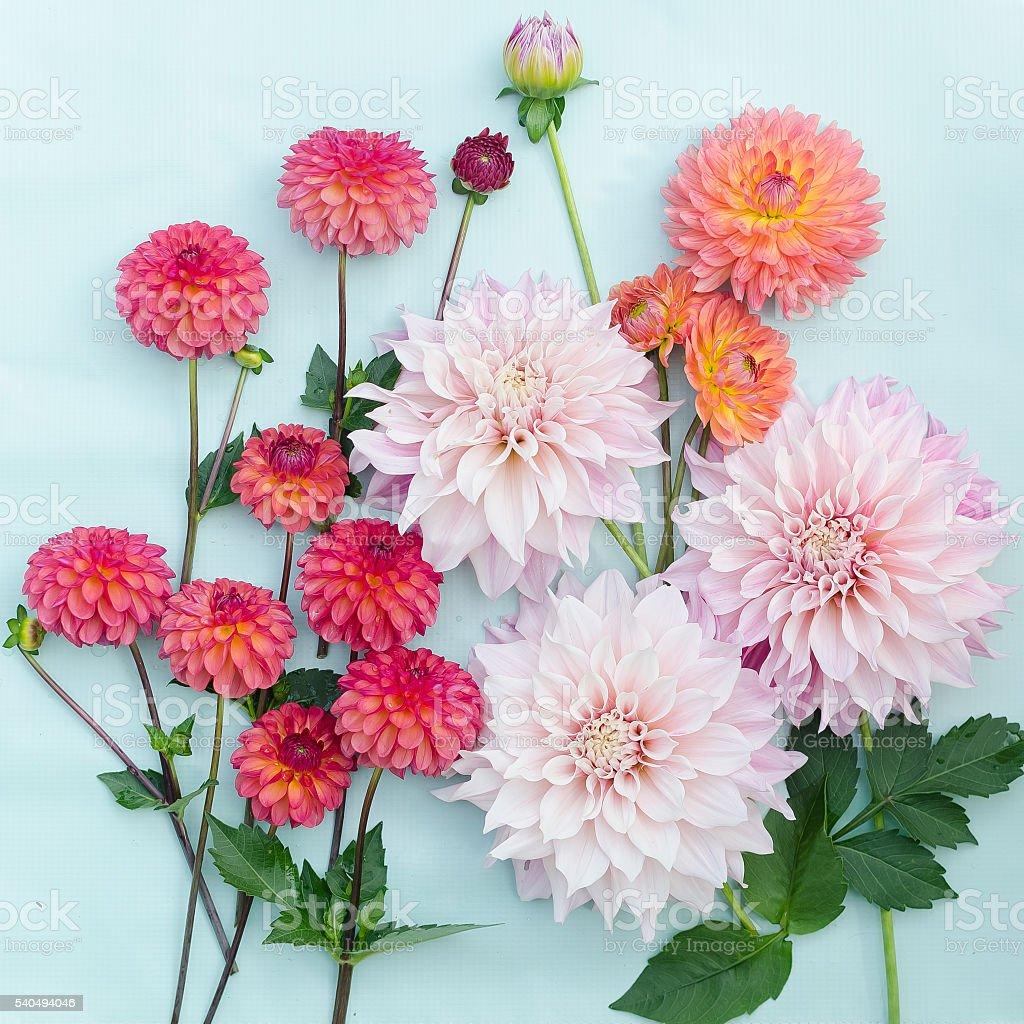 Dahlia Flowers on a Plain Blue Background stock photo