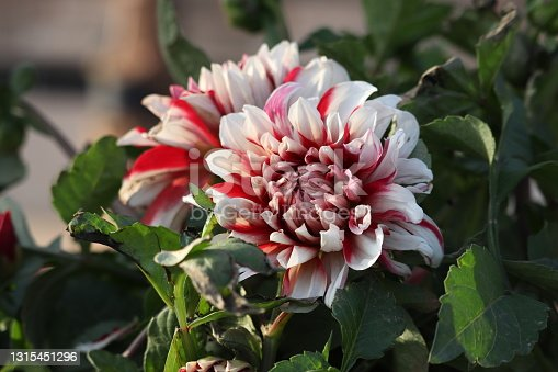 Dahlia is a genus of bushy, tuberous, herbaceous perennial plants native to Mexico and central America.