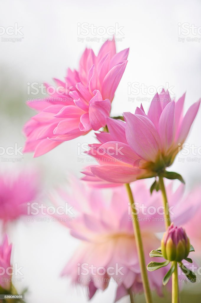 dahlia flowers stock photo