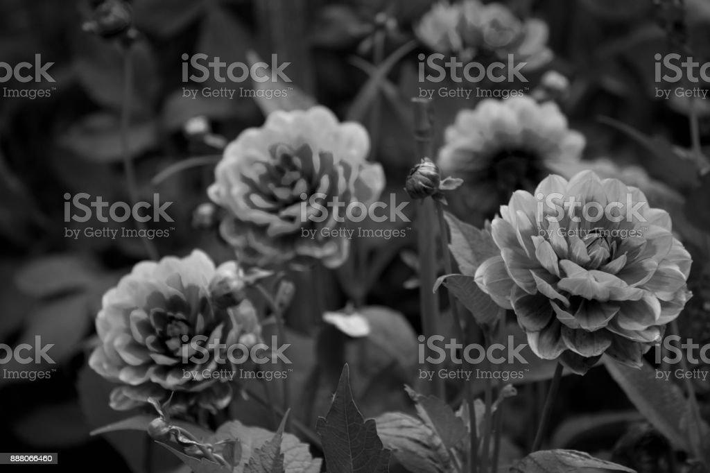 Dahlia flowers stock photo