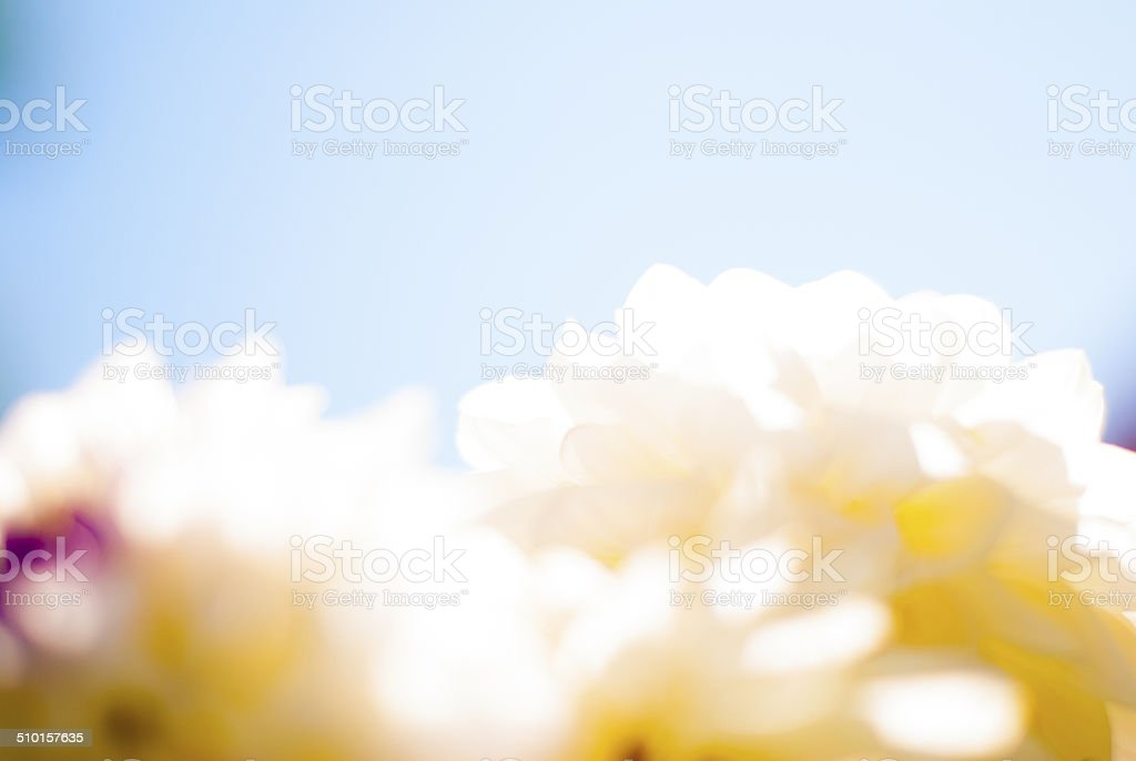 Dahlia flowers with sky background, light, defocus stock photo
