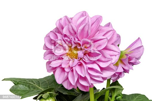 istock Dahlia from the front and with leaves on a white background - big 948743272