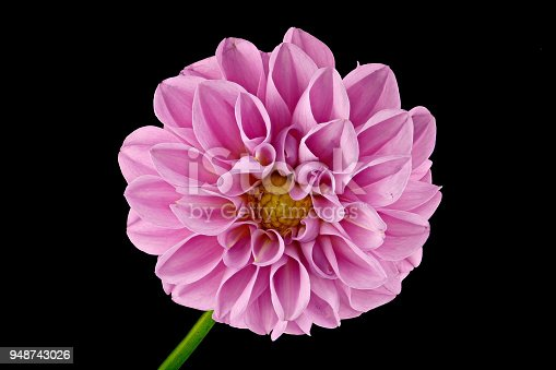 istock Dahlia from the front on a black background - big 948743026