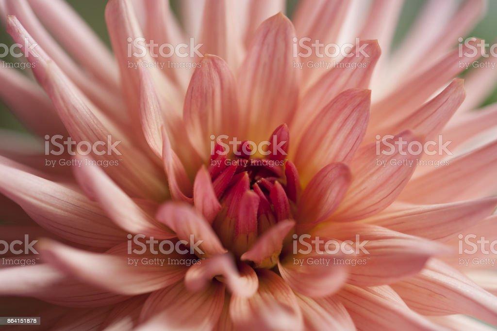 dahlia, georgine pink flower royalty-free stock photo