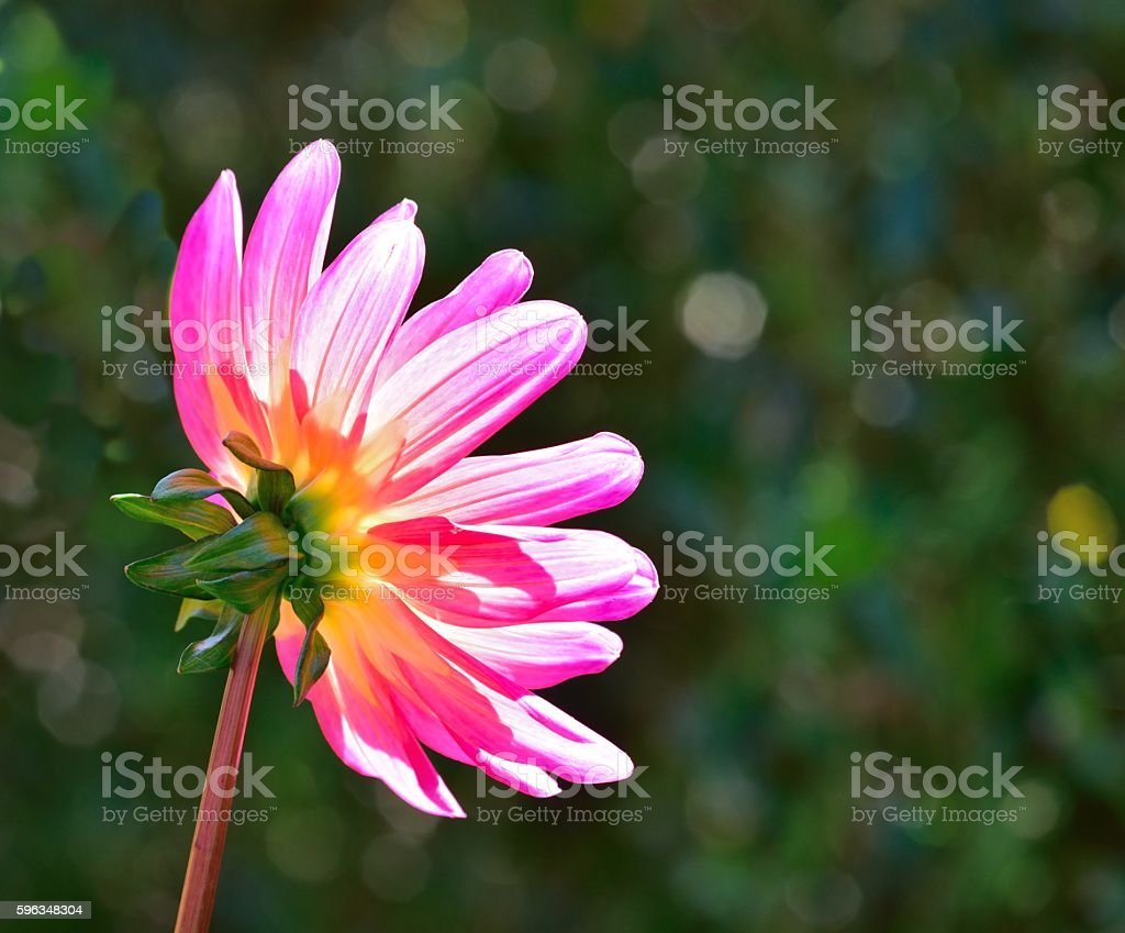 Dahlia in close up with sun shining through the petals. royalty-free stock photo
