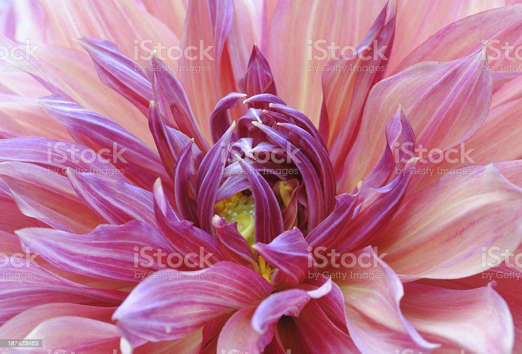 Dahlia in Macro royalty-free stock photo