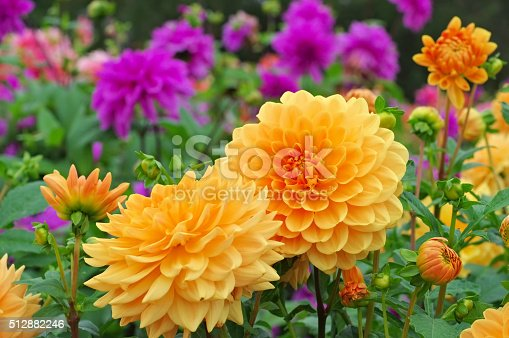 Dahlia in summer, is called Orange Garden