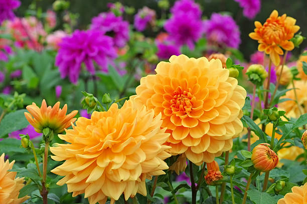 Dahlia appelle Orange sur le jardin - Photo