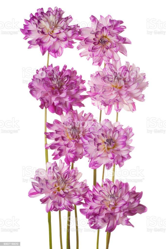 dahlia isolated on white stock photo