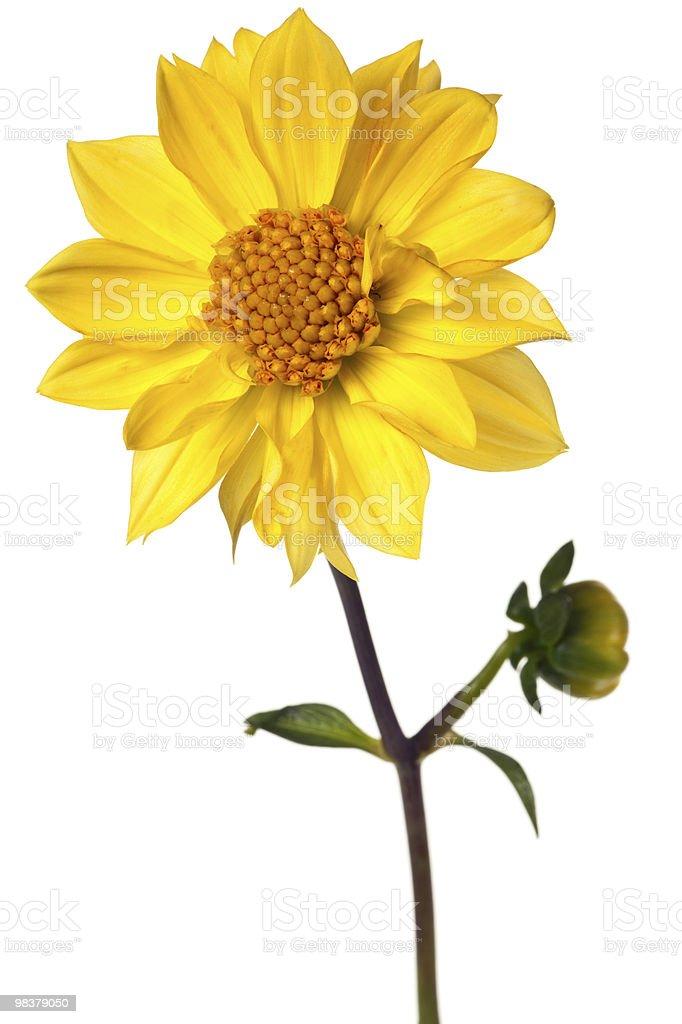 dahlia isolated royalty-free stock photo