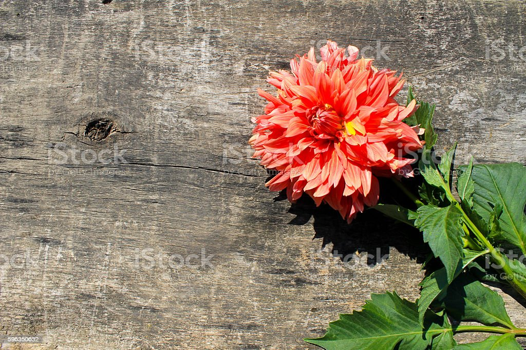 Dahlia on wooden background royalty-free stock photo