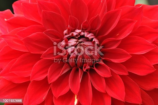 With a multitude of different colors, shapes and sizes, Dahlias bring life and beauty to your garden in summer and fall. The diversity of the Dahlia allows you to use them in many different aspects of your landscape design, from low growing border plants to stately background plantings. Dahlia is said to be Queen of cut flowers.