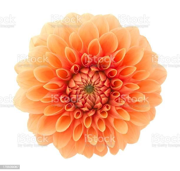 Dahlia picture id175539087?b=1&k=6&m=175539087&s=612x612&h=1unwwnnunfochjsu mnlc qqlpiefwipoflj qzbebg=