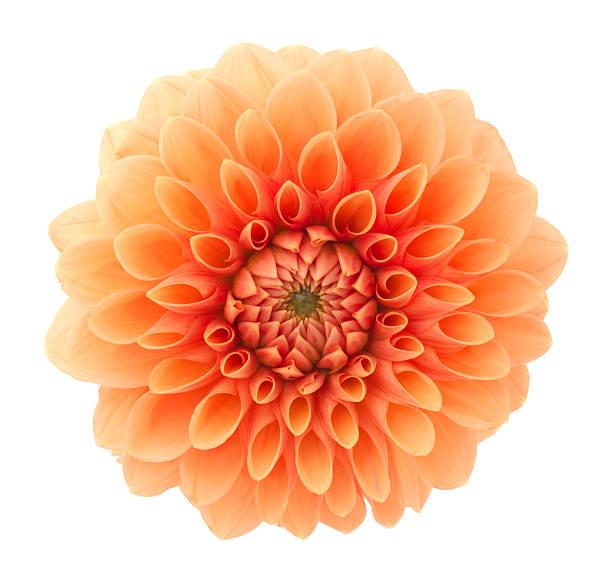 Dahlia Orange flower on a white background. single flower stock pictures, royalty-free photos & images