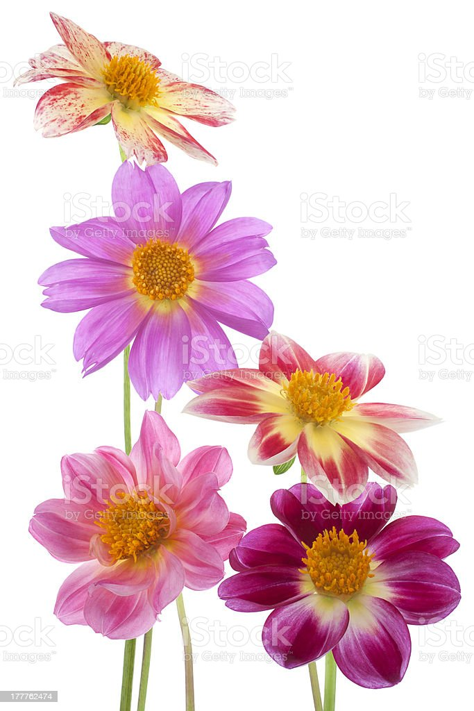 dahlia royalty-free stock photo