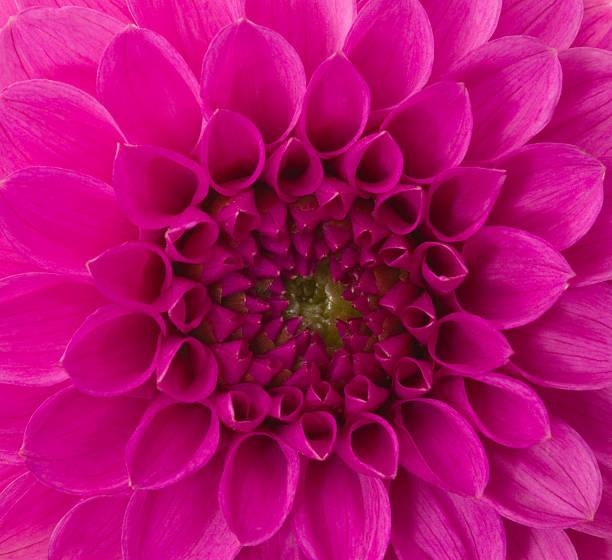 dahlia. - magenta stock photos and pictures